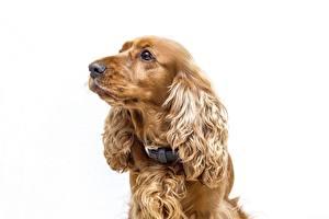 Фотография Собака Спаниеля Белом фоне Смотрят животное