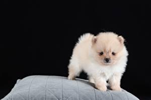 Фото Собака Шпица Щенки Белая На черном фоне животное