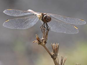 Фотографии Стрекозы Крупным планом Крылья Животные