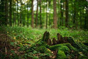 Обои для рабочего стола Лес Пне Мха Дерево Боке Природа