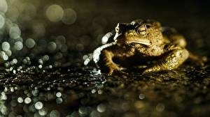 Картинки Лягушка Крупным планом Боке True toad животное