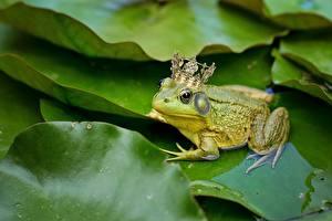 Фотографии Лягушка Корона животное