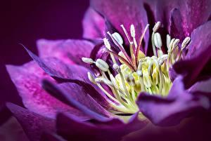 Фото Морозник Крупным планом Фиолетовая Цветы