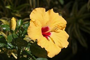 Фотография Гибискусы Вблизи Желтых Цветы