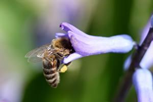Фото Гиацинты Вблизи Пчелы Насекомое Боке
