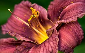 Обои Лилия Крупным планом Фиолетовая