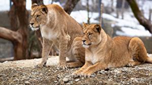 Картинка Львица Лев Вдвоем Смотрят Животные