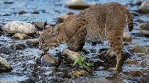 Обои Рысь Камень Пьет воду Ручеек животное