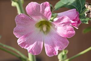 Фотографии Мальва Вблизи Розовый Цветы