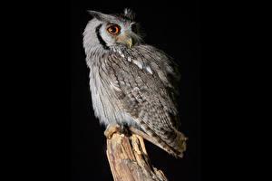 Фотография Совообразные На черном фоне Southern White-Faced Owl
