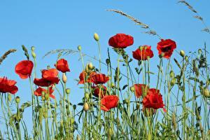 Картинки Маки Бутон Красные Цветы