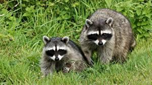 Обои Еноты Трава Две Смотрит Животные