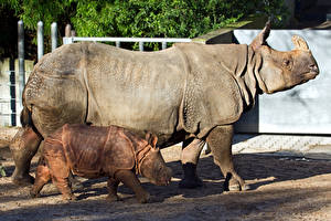 Фотографии Носороги Детеныши 2 Сбоку животное