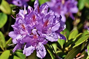 Обои Рододендрон Вблизи Фиолетовая цветок