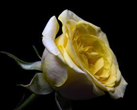 Обои Роза Вблизи На черном фоне цветок
