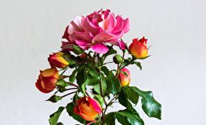 Фотография Роза Сером фоне Ветвь Бутон Листва цветок