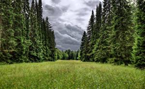Обои для рабочего стола Россия Санкт-Петербург Парк Ели Траве Lomonosov Oranienbaum park Природа