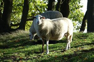 Картинка Овцы Трава 2 Животные