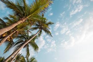 Обои Небо Пальм Вид снизу Дерева Природа