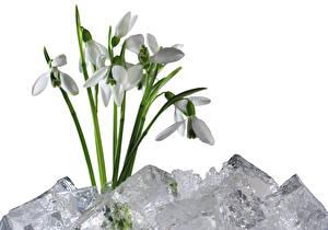 Фото Подснежники Белый фон Лед Цветы