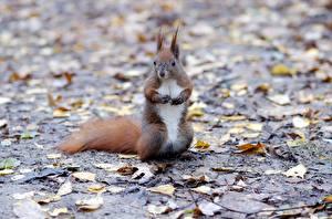 Фотографии Белка Грызуны Листва Боке животное