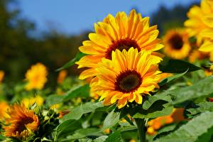 Обои Подсолнухи Размытый фон Желтая Цветы