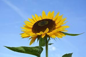 Картинка Подсолнечник Вблизи цветок