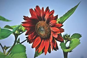 Картинки Подсолнечник Вблизи Красная цветок