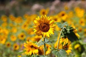 Фотографии Подсолнечник Желтая Боке цветок