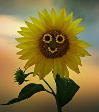 Фотографии Подсолнечник Желтых Улыбка цветок