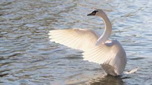 Фото Лебедь Воде Птица Крылья Белая животное