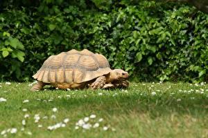 Картинка Черепахи Траве