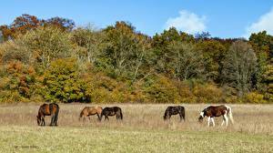 Картинки Великобритания Осень Лошади Кустов Деревьев Bradenham Estate Природа Животные