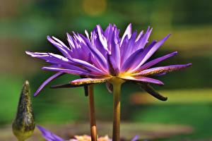 Фотография Водяные лилии Вблизи Фиолетовая цветок