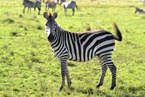 Фотографии Зебра Траве Сбоку животное