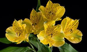 Картинка Альстрёмерия Вблизи На черном фоне Желтая цветок