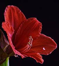 Обои для рабочего стола Амариллис Вблизи На черном фоне Красная цветок