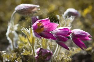 Фотография Ветреница Вблизи Боке Розовая цветок