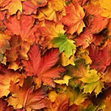 Картинки Осень Много Листва Клёна Природа