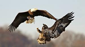 Картинки Птица Орел Сражение 2 Охотится Белоголовый орлан животное