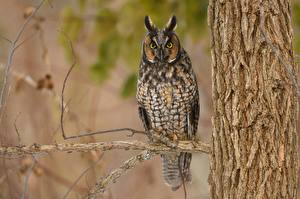 Картинка Птица Совы Ветвь Смотрит Long Eared Owl