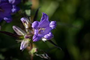 Фотография Колокольчики - Цветы Вблизи Фиолетовая Боке цветок