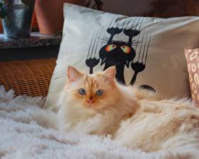 Фотографии Коты Смотрит Пушистая животное