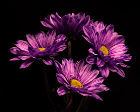 Фотография Хризантемы Вблизи На черном фоне Фиолетовая