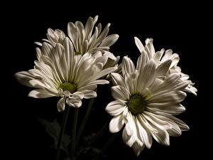 Фотография Хризантемы Вблизи Черный фон Белый Природа