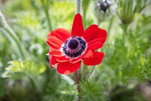 Фотография Вблизи Ветреница Красная Боке цветок