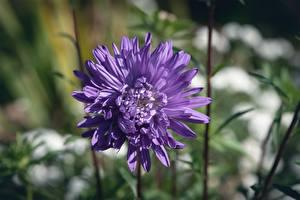 Обои Вблизи Астры Боке Фиолетовая цветок