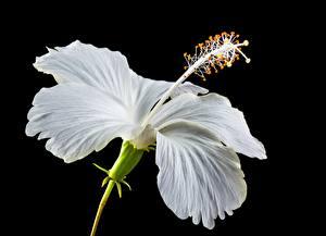 Фотография Вблизи Гибискусы На черном фоне Белых Цветы