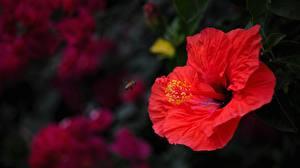 Фото Вблизи Гибискусы Красная цветок