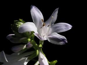 Картинки Вблизи Лилии Черный фон Белые Цветы